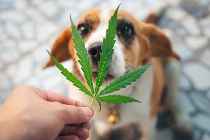 beagles puppies looking up with cannabis leaves ov HMDJR2N 1